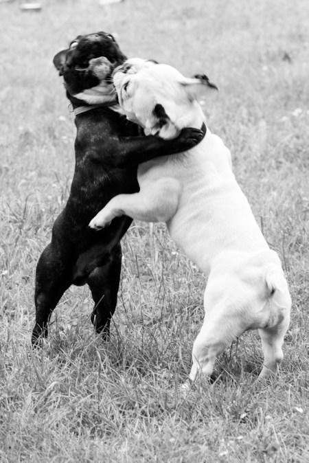 bulldog piknik-0879