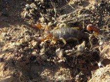 Tiens un scorpion !