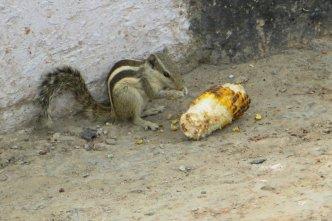 Écureuil indien