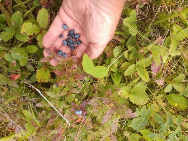 Picking Choke Cherries