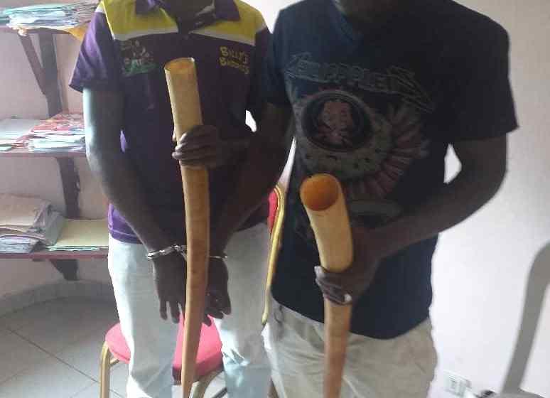 Gabon/Trafic d'ivoire: Deux pointes saisies dans le Woleu-Ntem