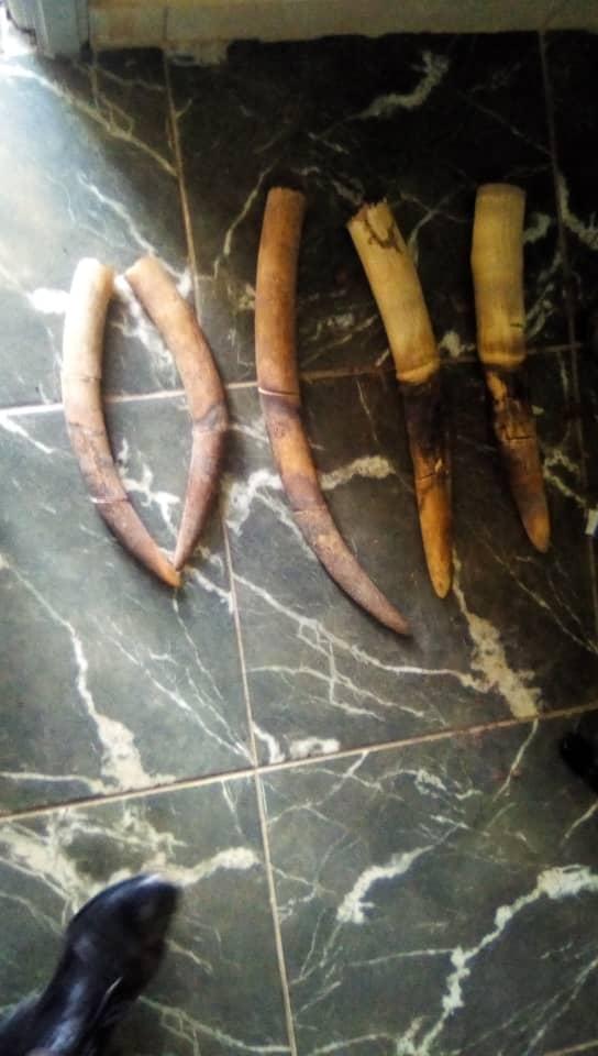 Gabon/Trafic d'ivoire: 5 pointes saisies à Oyem