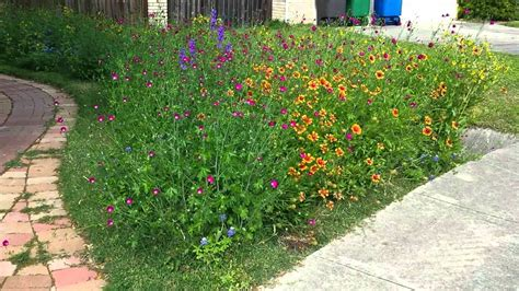 front yard full texas wildflowers youtube