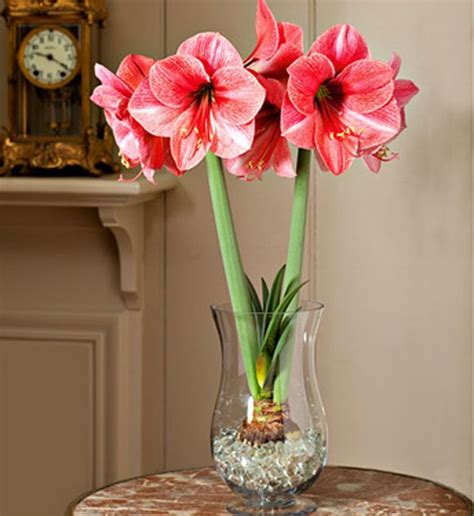 growing paperwhites amaryllis flowers indoors flowers amaryllis bulbs