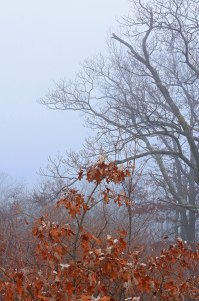 Red Leaves Fog