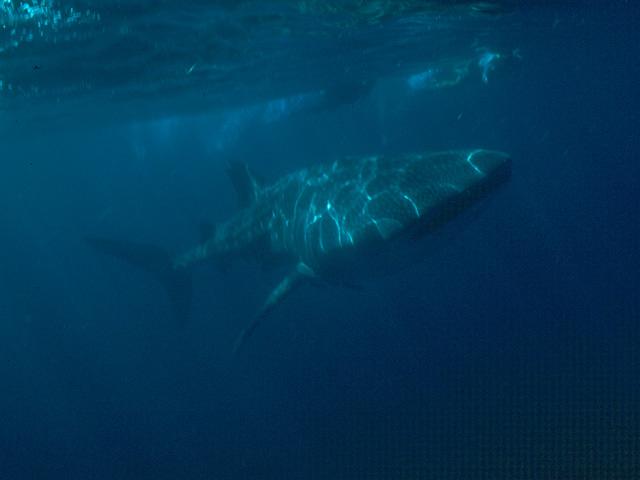 Reisebericht Mosambik mit Krüger-Nationalpark, Walhai