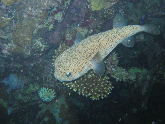 Igelfisch Lamaya