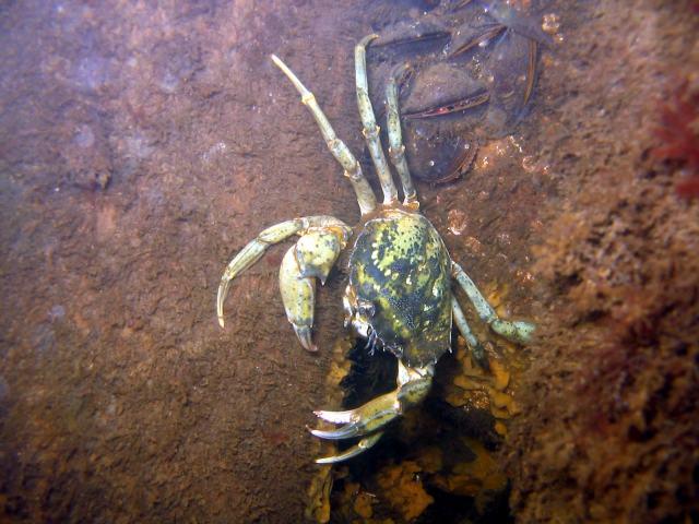 Brunsnaes, Dänemark Krabbe