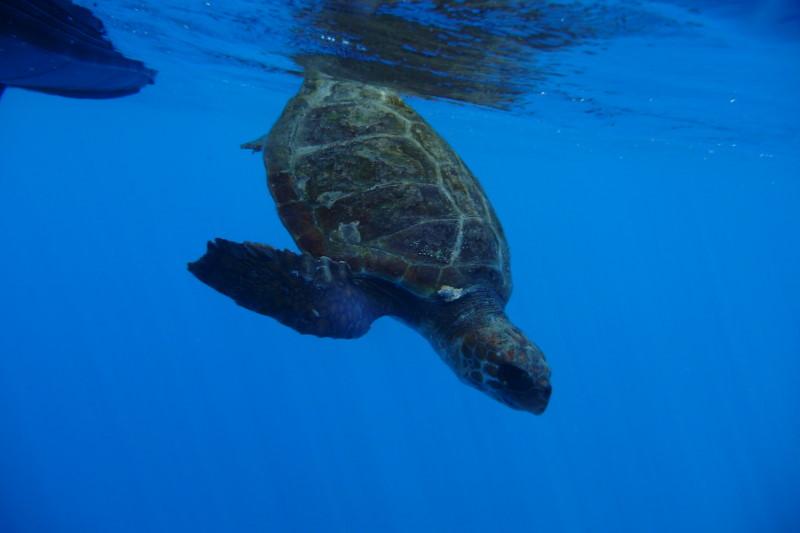 Whale Watching Madeira, Schildkröte