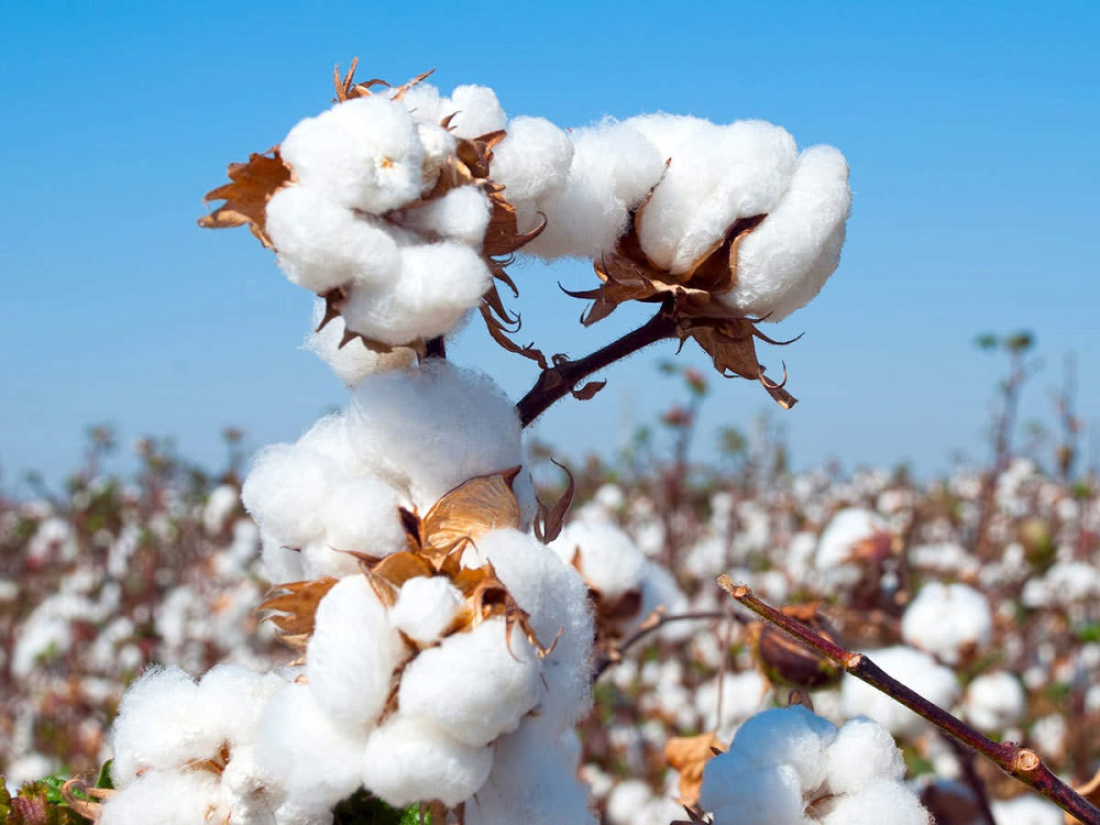 Pre shrunk cotton and regular cotton