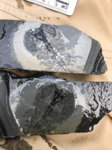 A black and gray rock split in half with a fossil inside laying on a brown cloth.