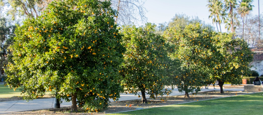 Fruit frenzy: Your juicy guide to Claremont's edible fruits
