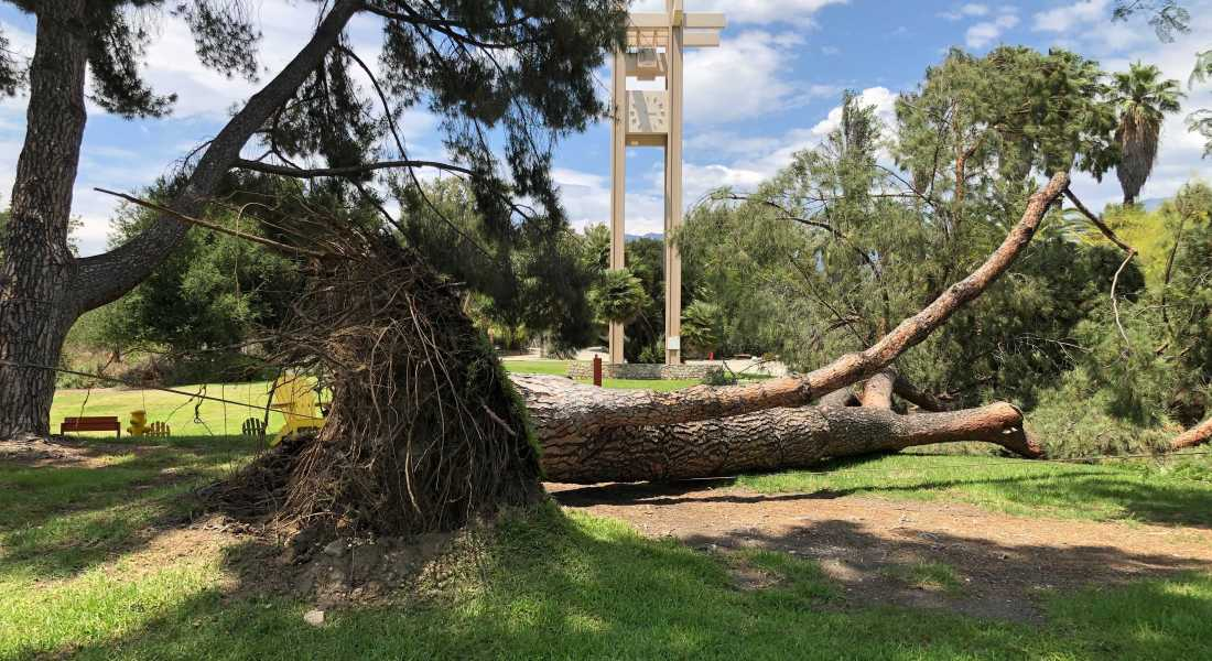 A large pine tree is grounded with exposed roots in front of the pitzer clock tower