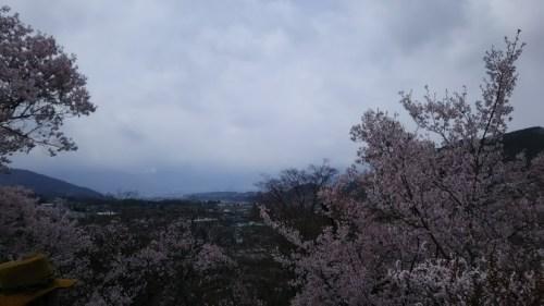 DSC 5132 500x281 高遠城址公園の桜が満開で見頃!桜雲橋は夢のよう♡駐車場情報あり