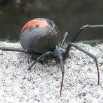 セアカゴケグモに噛まれたら症状は?刺されたら何科に行くか、見つけたらどうするか!