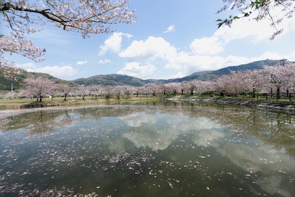 北条大池の桜-8
