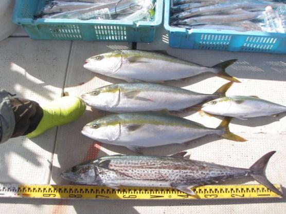 1名様釣果メジロ3匹とサワラ1匹とタチウオ12匹程度