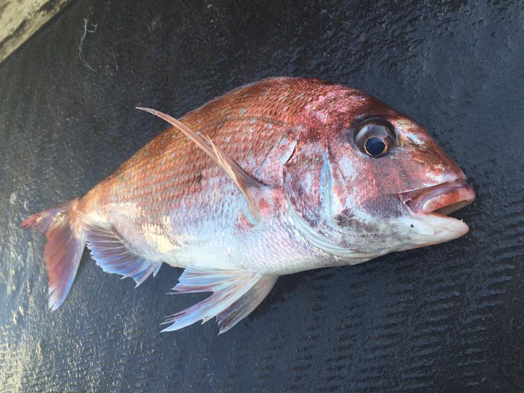 明石鯛釣り4月の3日間で鯛狙いの仕立て乗船募集