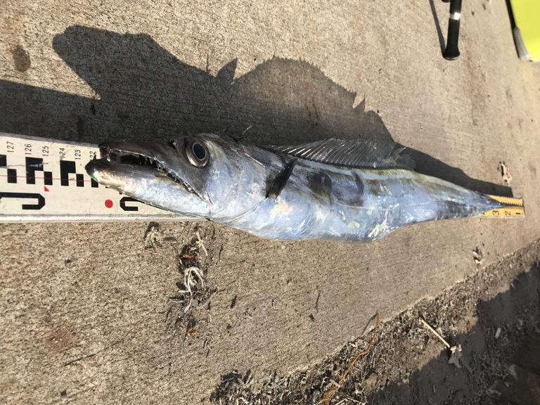 12月10日(日)の釣果(タチウオ125cm)