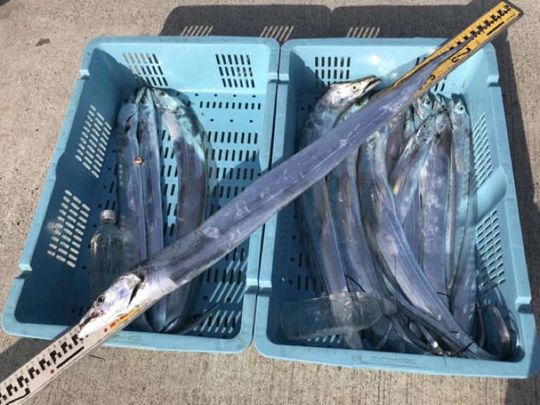 11月30日(金)の釣果(タチウオ船中15匹)