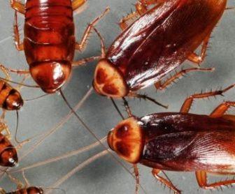 شركة مكافحة صراصير بالجبيل 0599220282 بافضل المبيدات الامنة