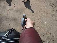 勇気ある鳩さんに餌付けするの図。