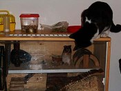hilde-z-hamster