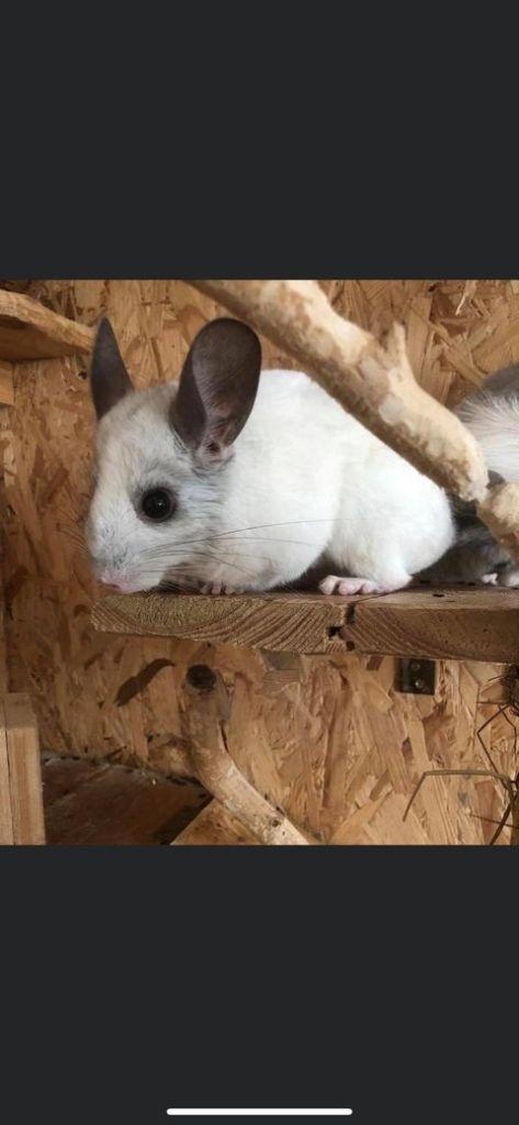 4 Chinchilla-Böcke suchen ein neues Zuhause (Vermittlungshilfe)