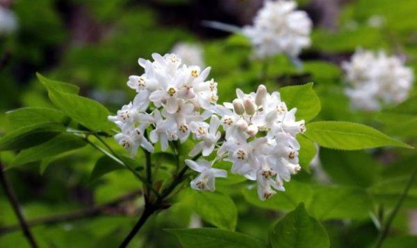 Клекачка: описание, выращивание и уход