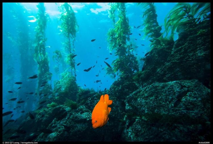 Garibaldi fish, rocky reef, and kelp, Santa Barbara Island. Channel Islands National Park, California, USA.