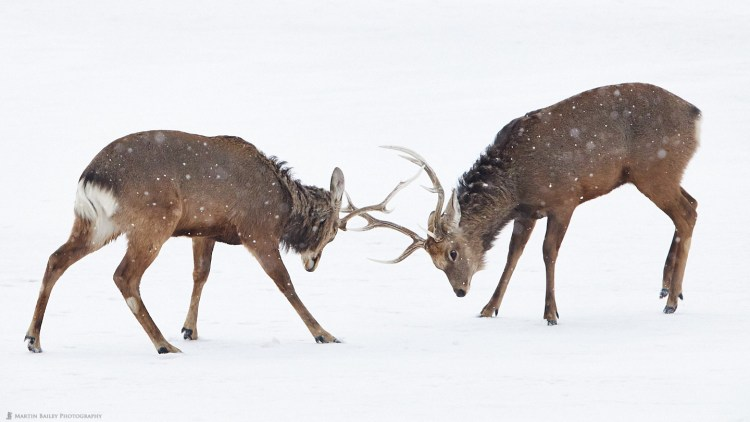 Stags' Play-Fighting