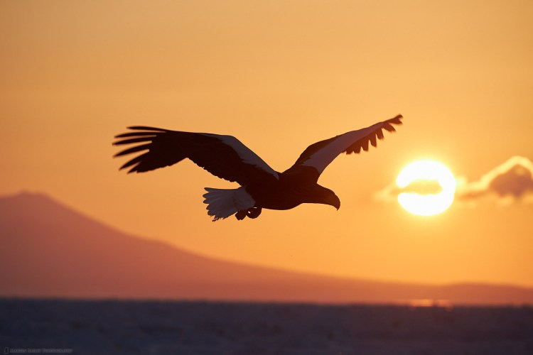 Steller's Sea Eagle Sunrise