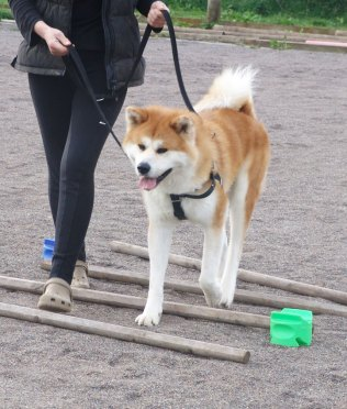 An Akita walks over the Tellington TTouch Playground for Higher Learning