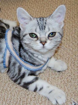 A cute tabby cat enjoys a tellington ttouch body wrap