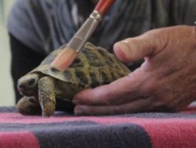 TTouch ing a turtle with a paintbrush