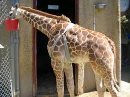 Giraffe wearing a Tellington TTouch Body Wrap