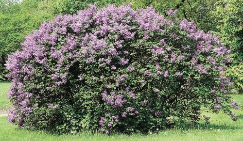 Villosa Lilac 1 gal - Qty. 1 gal