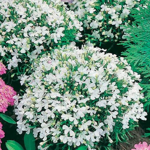 Lobelia White Lady - Qty. gms