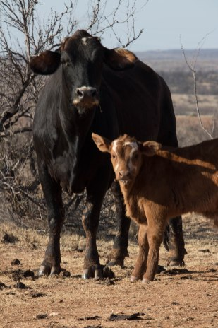 The Jones family has a strong love and passion for their livestock.
