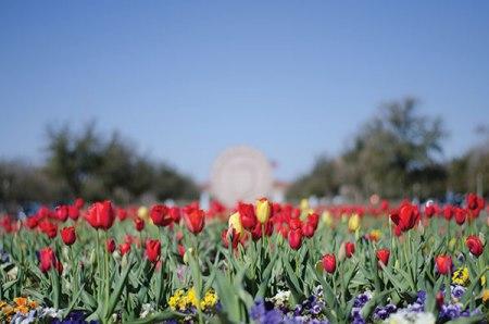 Texas Tech Seal and Tulips