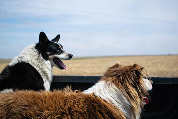 Coco and Raider happily ride in the back of the pickup.