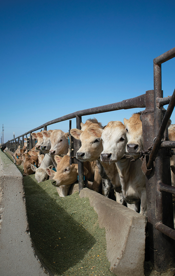 Calves line up at the feed trough to eat.