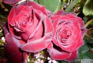 17-Rose_253158_3171072574888
