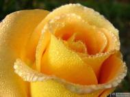 22-Rose_335573_3171073694916