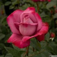 28-Rose_423149_3313105925633
