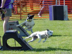 Flyball, a sprint/obstacle course/ relay race.