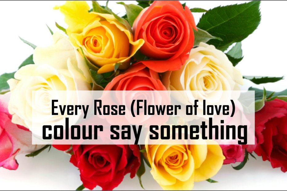 Every Rose (Flower of love) colour say something-tubertip.com