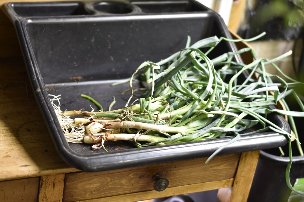 A black tray contains just harvested greens onions with roots and leaves intact.