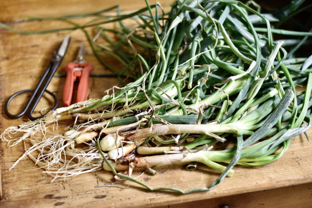 A close-up of green onions, just harvested with harvesting tools nearby.