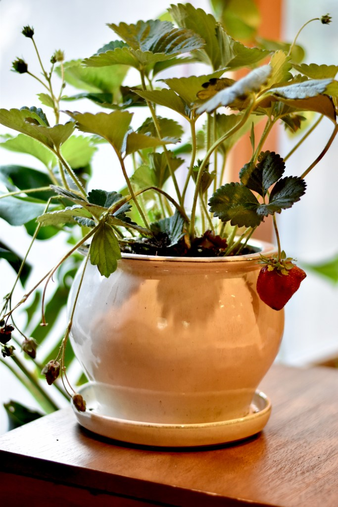 A lovely little strawberry plant with one strawberry ready to harvest